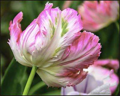 Tulip Photograph - Tulip Time Pink And White by LeeAnn McLaneGoetz McLaneGoetzStudioLLCcom