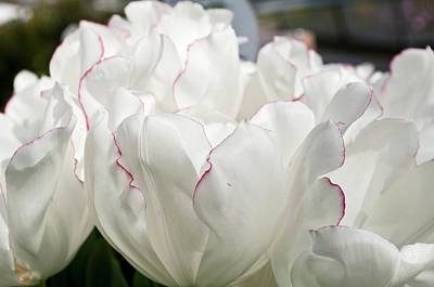 Spring Bulbs Photograph - Tulip (tulipa 'diamond Jubilee') by Bjanka Kadic