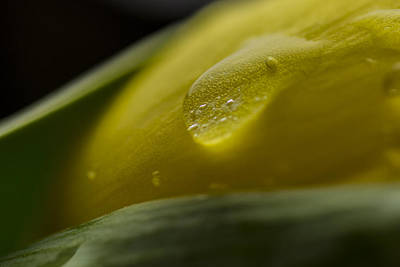 Tulip Water Drop Macro Print by David Haskett