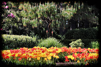 Floral Photograph - Tulips At Shore Acres by Sally Bauer