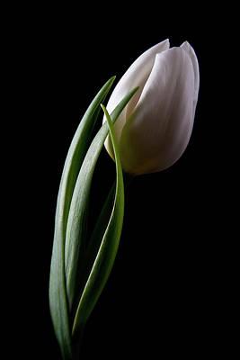 White Flower Photograph - Tulips IIi by Tom Mc Nemar