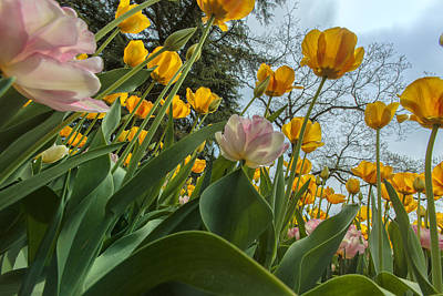 Suffolk County Photograph - Tulips In Bloom by Rick Berk