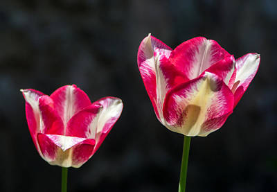 Tulips Photograph - Tulips Of A Kind by Photographic Arts And Design Studio