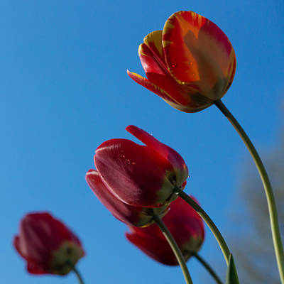 Tulips Photograph - Tulips On Blue by Photographic Arts And Design Studio