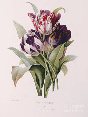 Flora Painting - Tulips by Pierre Joseph Redoute