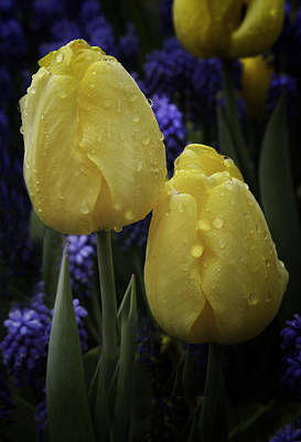 Tiare Photograph - Tulips Two Yellow by James Bethanis