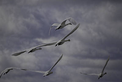 Tundra Swans Taking Flight 1 Print by Thomas Young