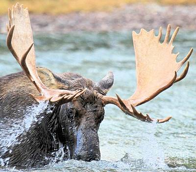 Moose In Water Photograph - Turbulent Waters by Adam Jewell