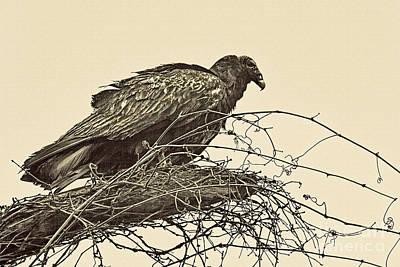 Buzzard Photograph - Turkey Vulture V2 by Douglas Barnard