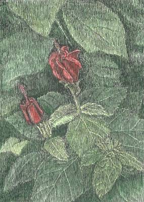 Drawing - Turk's Cap by Stephany Elsworth