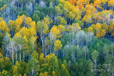Turning Aspens At Dunderberg Meadows Print by Alexander Kunz