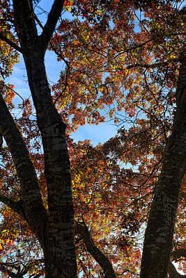 Turning Leaves In Oak Tree In Dec. Print by Linda Phelps