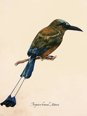 Gouache Painting - Turquoise-browed Motmot by Rachel Root