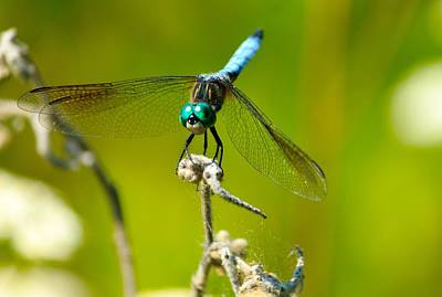 Turquoise Dragonfly Print by Lorri Crossno
