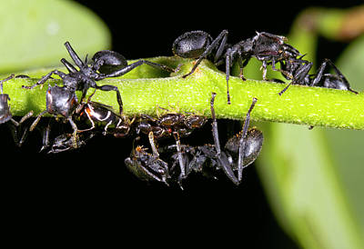 Turtle Ants Tending Leafhoppers Print by Dr Morley Read