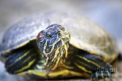 Green Eyes Photograph - Turtle by Elena Elisseeva