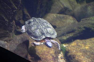 Turtle Photograph - Turtle - National Aquarium In Baltimore Md - 121212 by DC Photographer