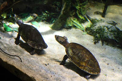Turtle - National Aquarium In Baltimore Md - 121219 Print by DC Photographer