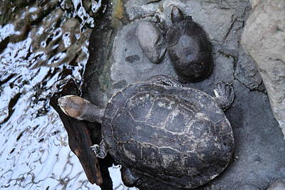 Turtle - National Aquarium In Baltimore Md - 12126 Print by DC Photographer