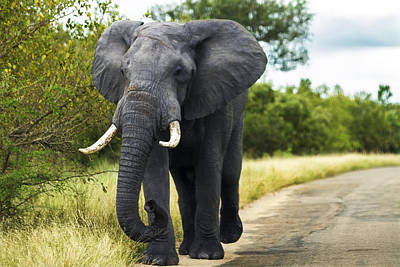 Tusker With Attitude Print by Peter Turner