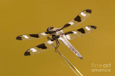 Dragonflies Photograph - Twelve-spotted Skimmer Dragonfly II by Clarence Holmes