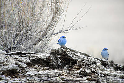Bluebird Photograph - Twice As Happy by Deby Dixon