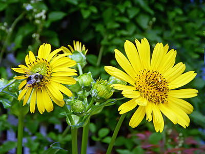 Floral Photograph - Twin Daisies  by Aimee L Maher Photography and Art Visit ALMGallerydotcom