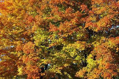 Autumn Photograph - Twin Maples by Luke Moore