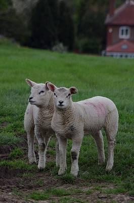 Sheep Photograph - Twins by Lorraine Lumb