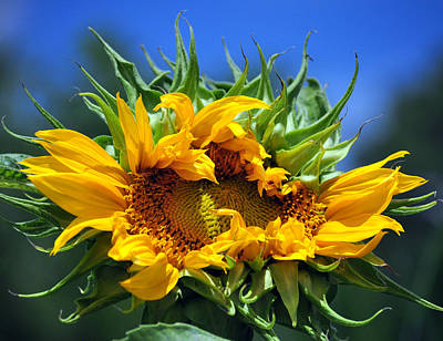 Twisted Sunflower Print by Gail Butler