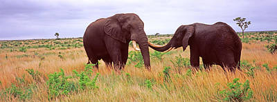 Two African Elephants Loxodonta Print by Panoramic Images