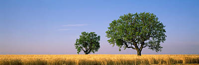Almond Tree Photograph - Two Almond Trees In Wheat Field by Panoramic Images