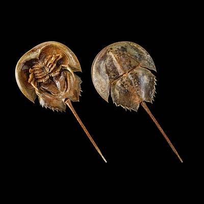 Limulus Polyphemus Photograph - Two Atlantic Horseshoe Crabs by Science Photo Library