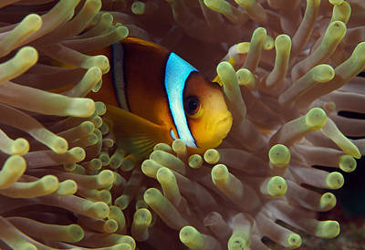 Hiding Photograph - Two-banded Anemonefish Red Sea Egypt by Eric Gibcus
