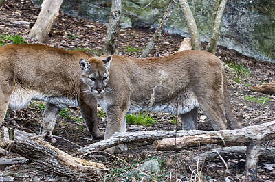 Two Cougars  Print by Chris Flees