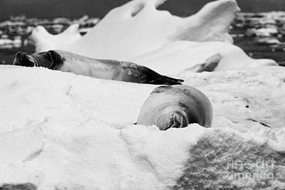 Fournier Photograph - two crabeater seals lying on iceberg Fournier Bay Antarctica by Joe Fox
