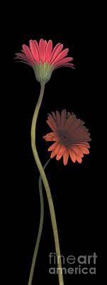 Stamen Digital Art - Two Daisies Tall Right by Heather Kirk
