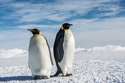 Antarctica Photograph - Two Emperor Penguins by Alasdair Turner