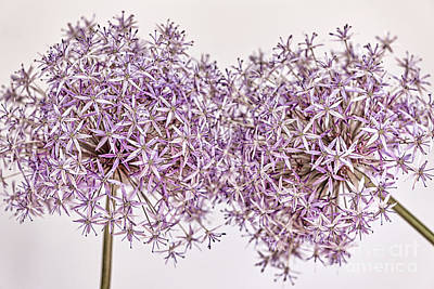 Florets Photograph - Two Flowering Onions by Elena Elisseeva