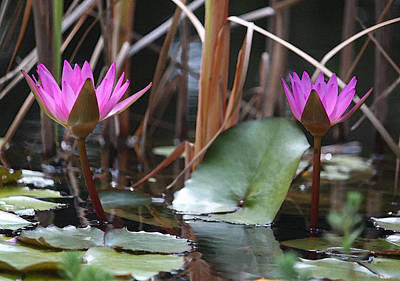 Two Fuchsia Water Lilies In Watercolor Original by Suzanne Gaff