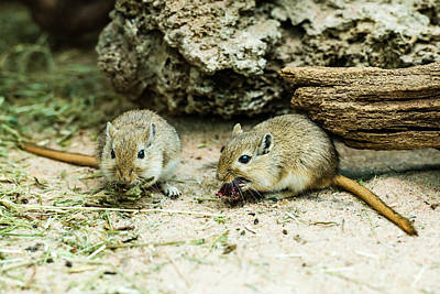 Gerbil Photograph - Two Gerbils by Frank Gaertner