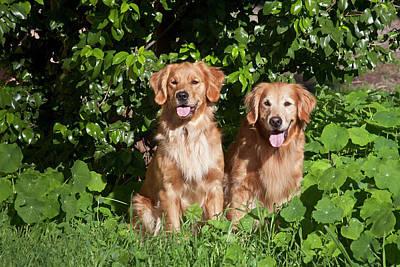 Golden Retrievers Photograph - Two Golden Retrievers Sitting At A Park by Zandria Muench Beraldo