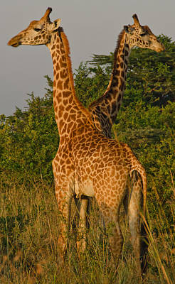 Nairobi Photograph - Two Heads Are Better Than One by Aaron S Bedell