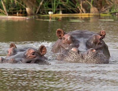 Hippopotamus Photograph - Two Hippopotamus Hippopotamus Amphibius by Panoramic Images