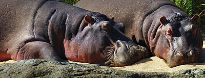 Two Hippos Sleeping On Riverbank Print by Johan Swanepoel