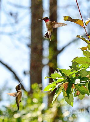 Two Hummingbirds In Flight Sparring Fight Print by Wayne Nielsen
