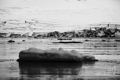 Fournier Photograph - two humpback whales megaptera novaeangliae logging or sleeping among floating ice in Fournier Bay An by Joe Fox
