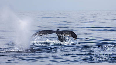 Whale Photograph - Two Humpback Whales Sea Of Cortez by Liz Leyden