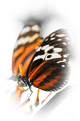 Butterflies Photograph - Two Large Tiger Butterflies by Elena Elisseeva