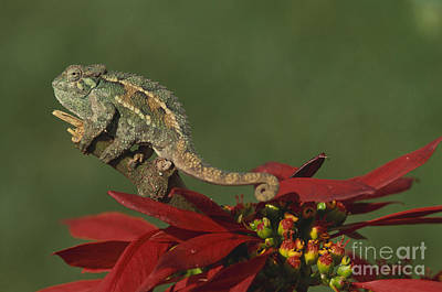 Flowers On Line Photograph - Two-lined Chameleon by Art Wolfe